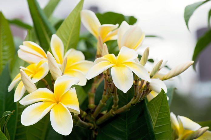 10 tips to grow fragrant flower plants in indoor pot